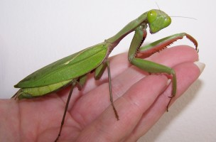 Rainforest mantis