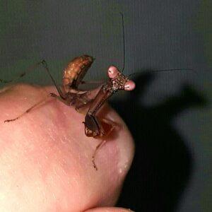 Juve GR Mantis