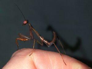 Juve Giant Rainforest Mantis